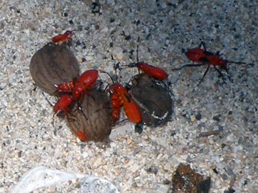 Red insects