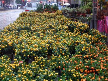Bonsai citrus plants